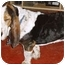 Photo 3 - Basset Hound Dog for adoption in Phoenix, Arizona - Fausto