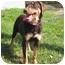Photo 2 - Doberman Pinscher/Labrador Retriever Mix Puppy for adoption in Florence, Indiana - Sierra