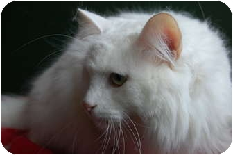 Persian Cat for adoption in North Judson, Indiana - Ivory