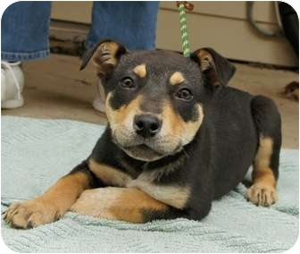 German Shepherd Dog/Retriever (Unknown Type) Mix Puppy for adoption in Houston, Texas - Andy (So handsome!)