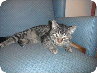 Domestic Mediumhair Cat for adoption in Jackson, Michigan - Blue