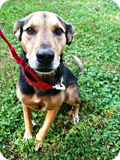 Shepherd (Unknown Type)/Labrador Retriever Mix Dog for adoption in Columbia, South Carolina - Riley