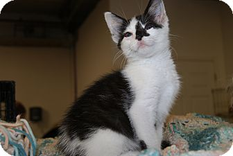 Domestic Shorthair Kitten for adoption in Trevose, Pennsylvania - Two Tone
