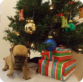 Shepherd (Unknown Type)/Chow Chow Mix Puppy for adoption in Wallingford Area, Connecticut - Candy Cane