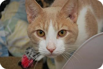 Domestic Shorthair Cat for adoption in Trevose, Pennsylvania - Murphy