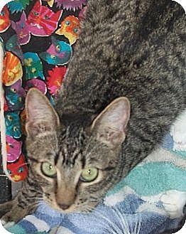 American Shorthair Kitten for adoption in Holmes Beach, Florida - Colleen