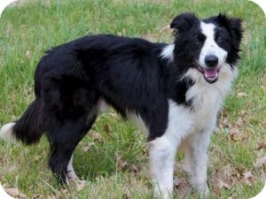 Border Collie Dog for adoption in Cumming, Georgia - Jax