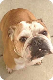 English Bulldog Dog for adoption in Lancaster, Ohio - Belle