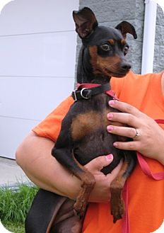 Miniature Pinscher Dog for adoption in Florence, Indiana - Bella