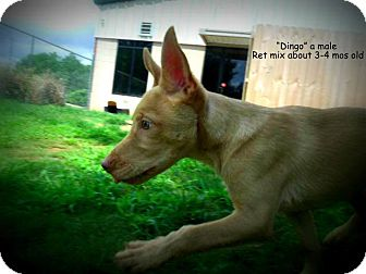 Retriever (Unknown Type) Mix Puppy for adoption in Gadsden, Alabama - Dingo