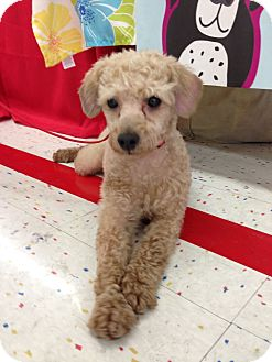 Poodle (Miniature) Dog for adoption in Orland Park, Illinois - Etienne