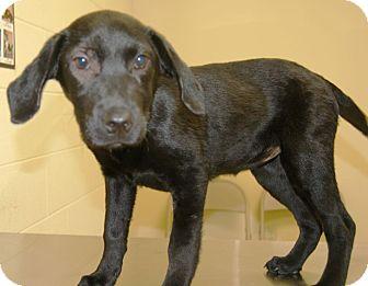 Labrador Retriever Mix Puppy for adoption in Harrisonburg, Virginia - Marley