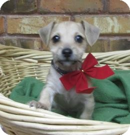 Dachshund/Chihuahua Mix Puppy for adoption in Benbrook, Texas - Mitch