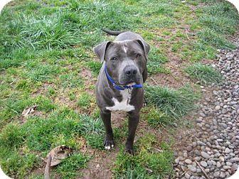 American Pit Bull Terrier/Pit Bull Terrier Mix Dog for adoption in Portland, Oregon - Porter