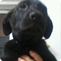 Adopt A Pet :: Charger - BIG BOY! - Phoenix, AZ