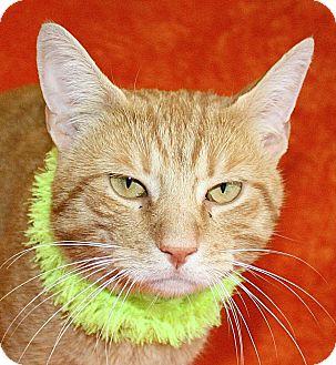 Domestic Shorthair Cat for adoption in Jackson, Michigan - Dewey