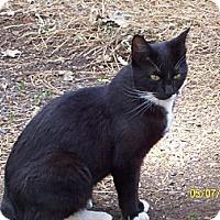 Domestic Shorthair Cat for adoption in Paradise, California - Fango-Tango-Fanny