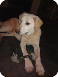 Retriever (Unknown Type) Mix Dog for adoption in Irmo, South Carolina - Snow