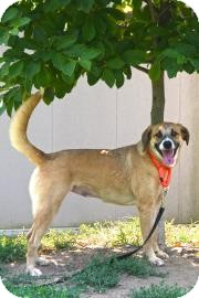 Boxer/Labrador Retriever Mix Dog for adoption in Gloucester, Massachusetts - Nila