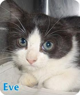 Domestic Shorthair Kitten for adoption in Georgetown, South Carolina - Eve