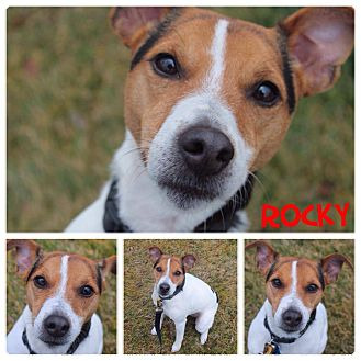 Jack Russell Terrier Mix Dog for adoption in Garden City, Michigan - Rocky