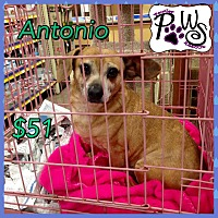 Chihuahua/Dachshund Mix Dog for adoption in Fowler, California - Antonio