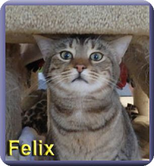 Domestic Shorthair Cat for adoption in Aldie, Virginia - Felix