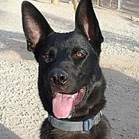 Adopt A Pet :: Jack Sparrow - Toluca Lake, CA