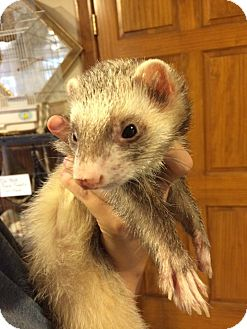 Ferret for adoption in Broadway, New Jersey - Rascal