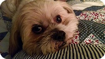 Lhasa Apso/Shih Tzu Mix Dog for adoption in Nashville, Tennessee - Cooper