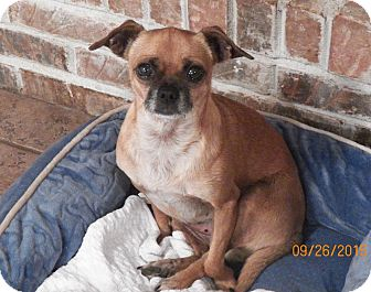 Pug/Chihuahua Mix Dog for adoption in Mary Esther, Florida - Jasmine