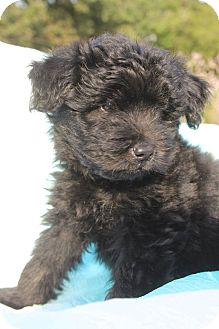 Cockapoo/Poodle (Miniature) Mix Puppy for adoption in Bedminster, New Jersey - Ludo
