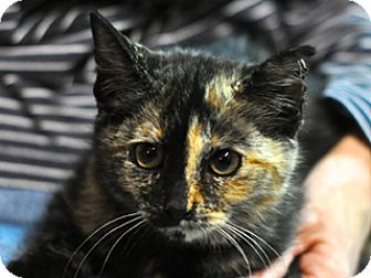 Domestic Shorthair Kitten for adoption in Great Falls, Montana - Punkin' Spice