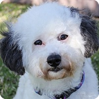 Adopt A Pet :: Cricket - La Costa, CA