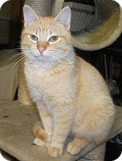 Polydactyl/Hemingway Cat for adoption in Plano, Texas - RASCAL - POLYDACTYL WONDER CAT