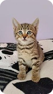 Domestic Shorthair Kitten for adoption in East Brunswick, New Jersey - Cypress