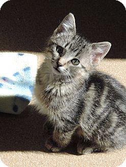 Domestic Shorthair Kitten for adoption in Brookings, South Dakota - Armani