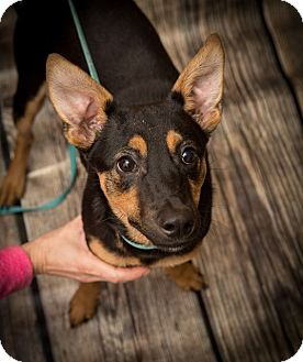Manchester Terrier/Miniature Pinscher Mix Dog for adoption in Brattleboro, Vermont - Scout