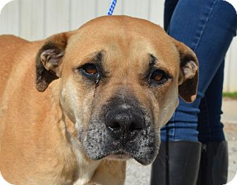 Boxer/Black Mouth Cur Mix Dog for adoption in Jackson, Georgia - Lane