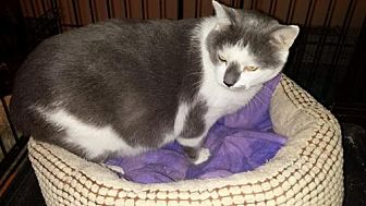 American Shorthair Cat for adoption in Manchester, Tennessee - Talkin' Tom