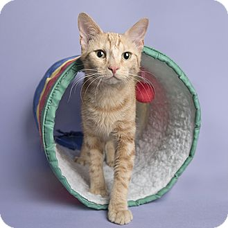Domestic Shorthair Cat for adoption in Wilmington, Delaware - Steele