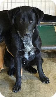 Labrador Retriever/Border Collie Mix Dog for adoption in Lewisburg, Tennessee - Chives