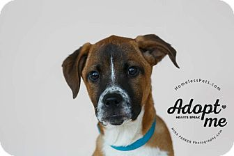 Retriever (Unknown Type)/Boxer Mix Puppy for adoption in Marietta, Georgia - Basil