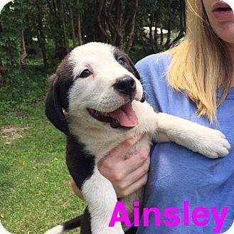 Labrador Retriever Mix Puppy for adoption in Sumter, South Carolina - Ainsley