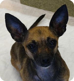 Chihuahua Mix Dog for adoption in Tacoma, Washington - Persephone