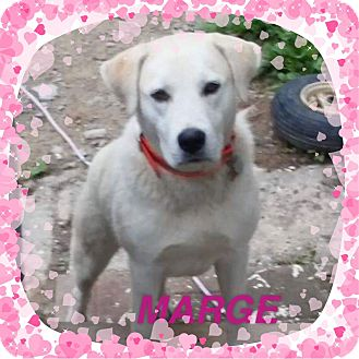 Labrador Retriever Puppy for adoption in West Warwick, Rhode Island - MARGE in Rhode Island
