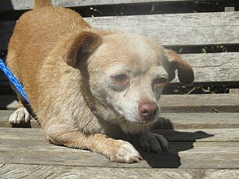 Chihuahua Dog for adoption in Porterville, California - PINK