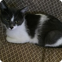 Domestic Shorthair Cat for adoption in Caro, Michigan - April