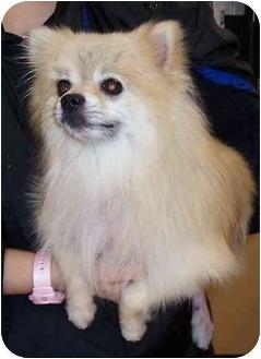 Pomeranian Dog for adoption in Olive Branch, Mississippi - Lucky Man