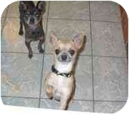 Chihuahua Dog for adoption in House Springs, Missouri - Mando